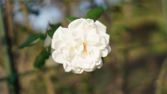 レンズ|SONY SEL35F18で撮った花